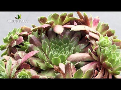 planter des succulentes buzzpls com. Black Bedroom Furniture Sets. Home Design Ideas