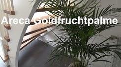 Areca Palme pflegen Goldfruchtpalme Madagaskar Palme Pflege Tipps Standort Gießen Düngen vermehren