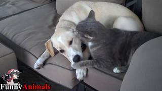 Labrador Playing and Kissing Cat - Dogs and Cats Loving Compilation 2017
