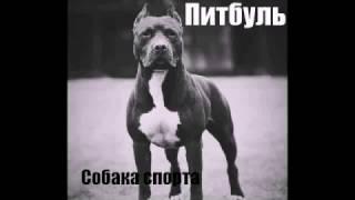 Питбуль - собака спорта!