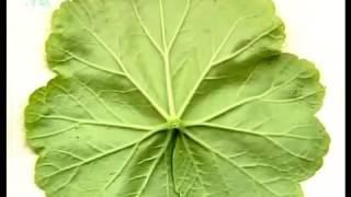 Внешнее строение листа