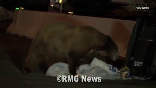 Two bears head out for a late night snack in Monrovia blocks from each other.