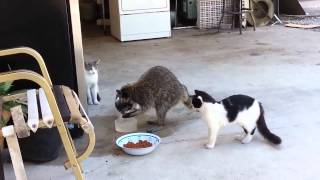 Raccoon selects food in cats // Енот отбирает еду у кошек