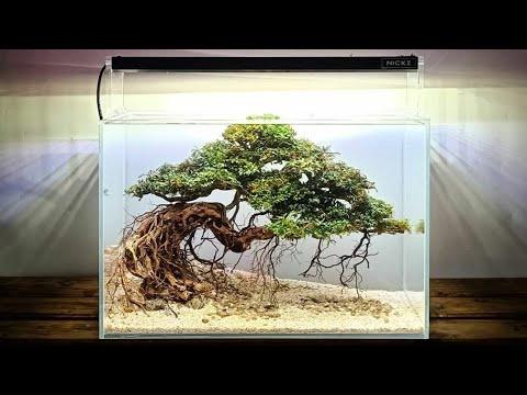 #Cara membuat bonsai bucephalandra aquascape dengan mudah# ...
