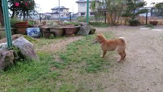鹿の角をくわえて走る山陰柴犬の子犬モモ。
