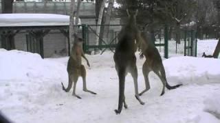 円山動物園のハイイロカンガルーたち。 マイケル(父)と、その息子たち、...
