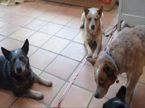Training Australian Cattle Dogs - The Sensible Way