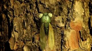 Minuscule S01E44 Cicada do brazil