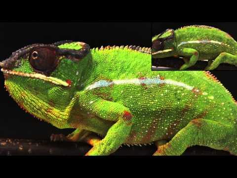 Chameleon colour change, Suppl Movie S3