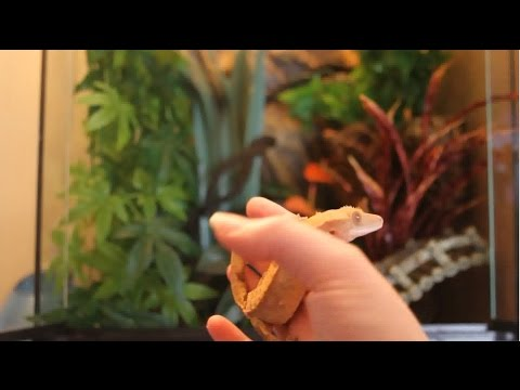 cleaning-out-a-crested-gecko-tank-+-new-setup!
