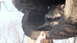 Милый енот  Смотреть онлайн   Видео   bigmirnet(, 2015-03-24T11:00:58.000Z)