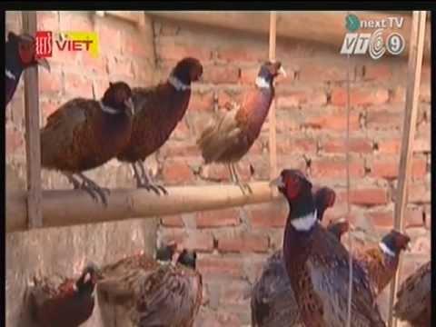 Mô hình nuôi chim trĩ đỏ khoang cổ huyện Đan Phượng