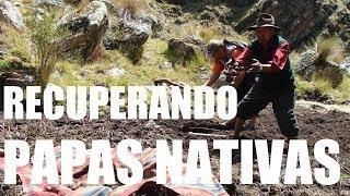 Experiencias de recuperación de papas nativas
