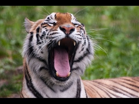 ► Swamp Tigers - Rare Footage Of The Royal Bengal (Sky Vision Documentary)