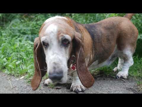 2nd August 2019 - A Basset Hound dog walk