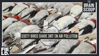 Sooty Birds Share Dirt on Air Pollution [60 Second Specimens]