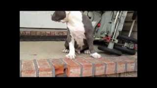 Manmades Ghost biggest blue XXL Bully pit bull puppies for sale, big pitbull puppy