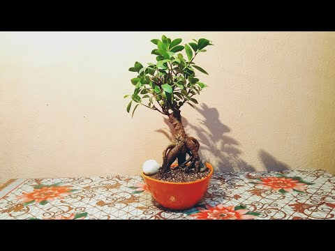 Repotting A Ficus Plant Bonsai || Soil Mix For Bonsai Plants.