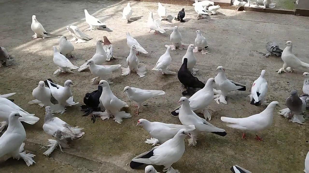 Бойные Голуби. Чистые корма для голубей. 30.06.20 Грузия. Тбилиси