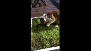 Bailey, English Bulldog puppy Potty Training 1