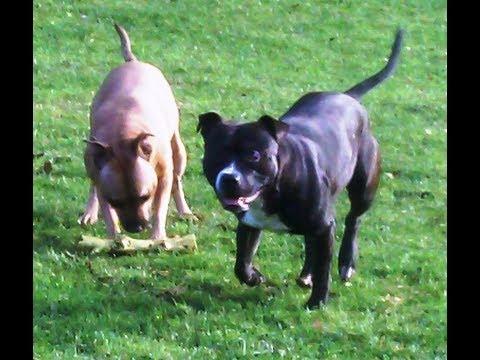 Staffordshire Bull Terriers Esme & Leo. (New guys.)