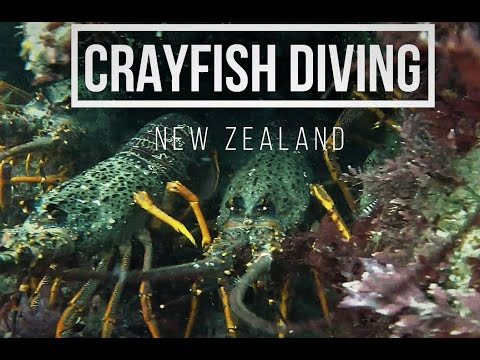 CRAYFISH DIVING NZ Motunau Vlog #7
