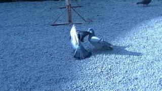 神泉苑でたい焼き食べながら鳩を撮影してたらいきなり大喧嘩を始めた。