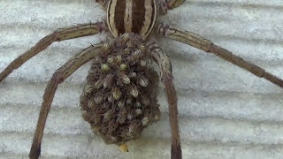 Close Up of Wolf Spider With Babies on Her Back HD