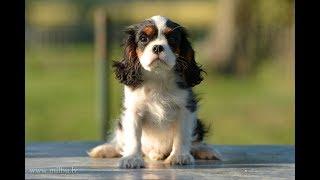 D-litter! Cavalier King Charles Spaniel Puppy - 3 month.