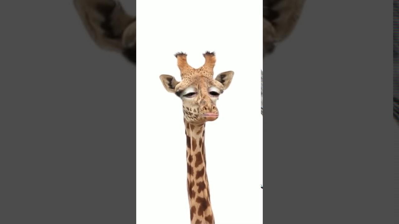 Guten Morgen Giraffe Youtube