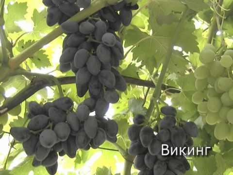 Виноград сверхранние сорта http://vevgarden.com