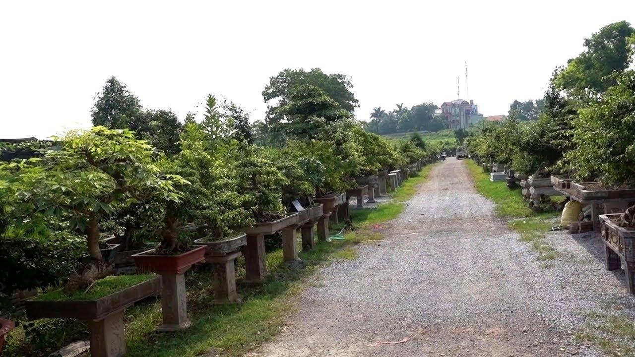 Phá thế hay, cây đẹp giá rẻ – repair bonsai trees
