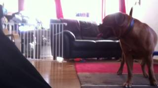 7kg Vizsla Puppy Vs 45kg Dogue De Bordeaux