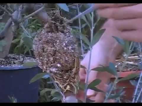 Distacco margotta photinia pianta da siepe doovi - Siepe di ulivo ...