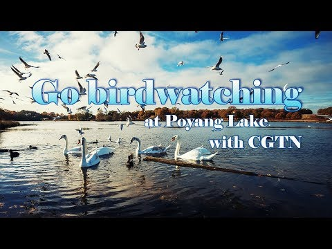 "Live: Go birdwatching at Poyang Lake with CGTN""点鸟奖湖"",探讨候鸟迁徙及生态保护"