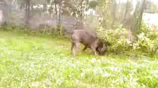 Video-0010.mp4   Simba  Mastino Napoletano Altro Che Secugio A Caccia Di Lepre,