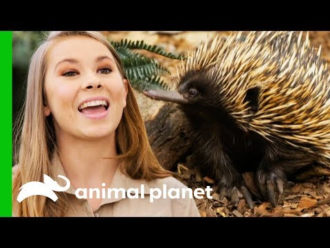 Bindi Releases Little Grub The Echidna Back Into The Wild! | Crikey! It's The Irwins