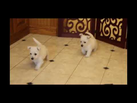 West Highland Terrier puppies for sale Lucy Martin