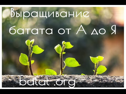 Выращивание батата от А до Я. Весь цикл от посадки на рассаду до сбора урожая