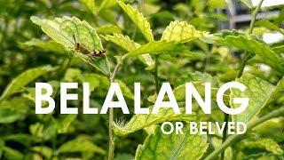 Gambar cover BELALANG or Belved - #1