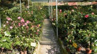 Camellias in Wingst, Germany. Part 1