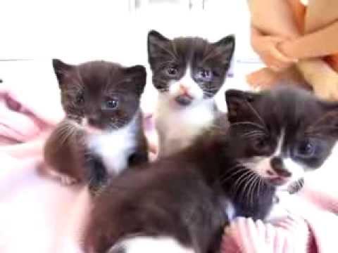 140 best Tuxedo cat images on Pinterest | Baby kittens ...  |Tuxedo Munchkin Cat Kittens