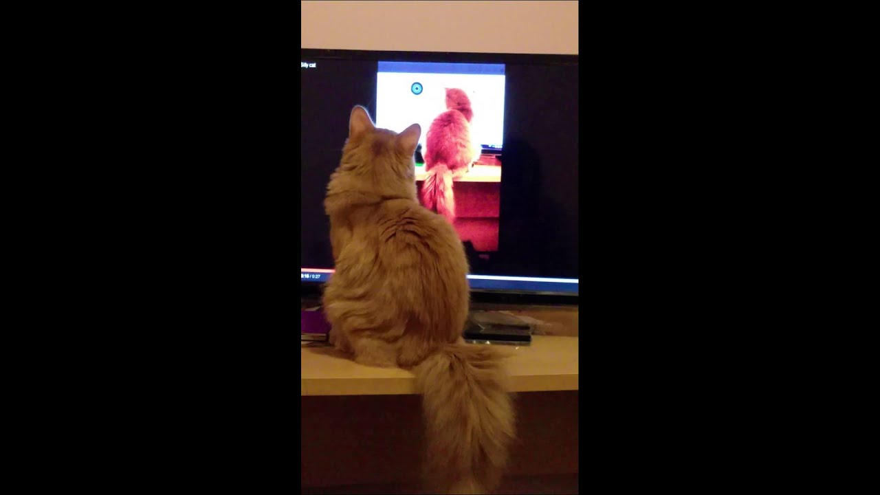 Silly Cat Watching Himself On TV