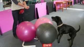 Harry Lab X Patterdale At  Treibball Training - Dog Training In Gosport