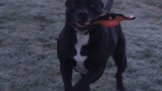 Staffordshire Bull Terriers Dave & Maizey At A & B Dogs Boarding & Training Kennels.