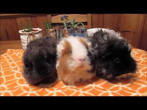 Different Guinea Pig Breeds In The Sherwood Home!