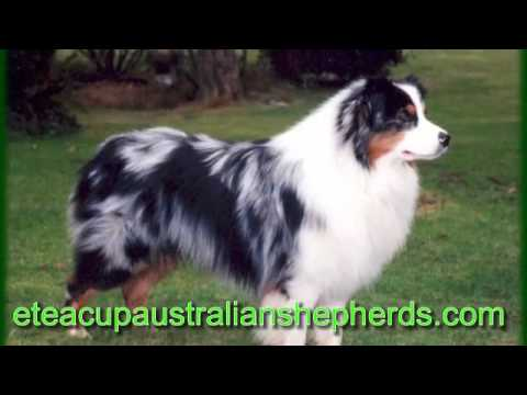 "Finding Great Breeders of Australian Shepherds ""Australian Shepherds breeders"""