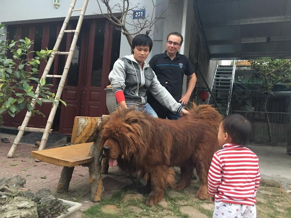 Trại chó ngao tạng Phượng Hoàng – Terrible male Tibetan mastiff