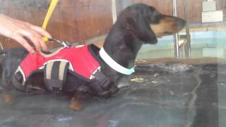 Elvis The Dachshund On The Underwater Treadmill June 6, 2014