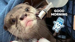 カワウソ コタロー まだまだ赤ちゃんな可愛い寝起き Kotaro the Otter Washes His Face in the Morning